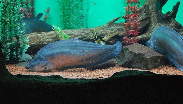 ikan predator belida saat di dalam aquarium