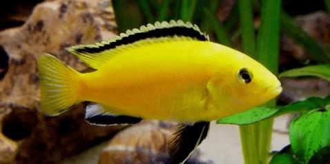 memelihara ikan lemon di akuarium