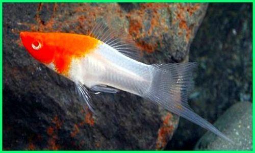 memelihara ikan platy