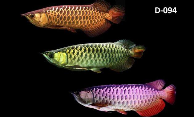 jenis ikan arwana
