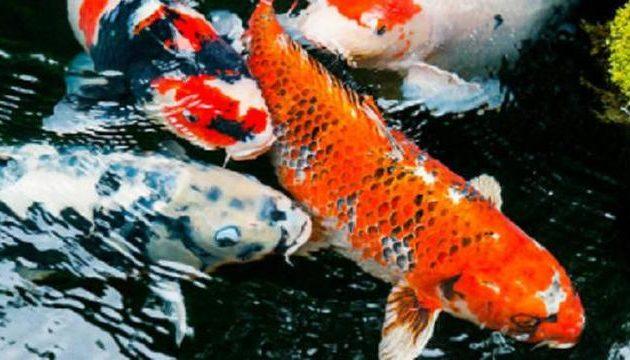 mitosnya ikan koi dapat mendatangkan keberuntungan