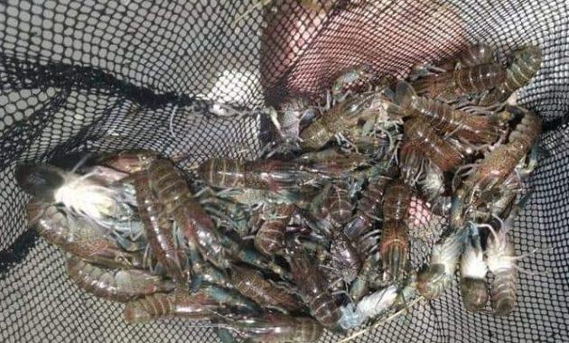 proses panen lobster
