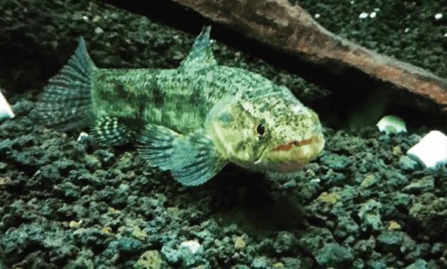 Malabar Wolf Fish