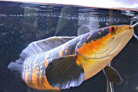 Chana Maruliodes Ikan Gabus Termahal Di Indonesia