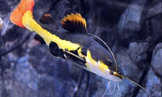 ikan predator air tawar