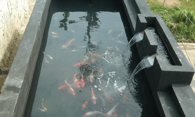 kolam ikan koi warna hitam