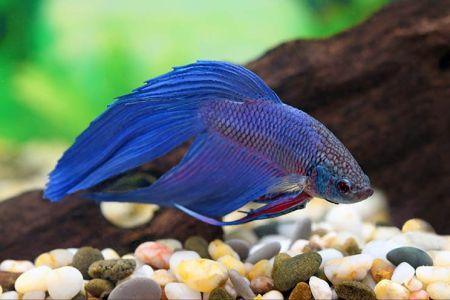 ikan cupang dengan warna biru