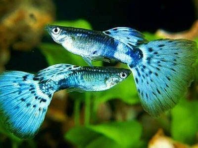 Penyebab Umur Ikan Guppy Singkat Dan Cepat Mati