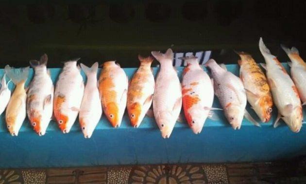 Meminimalkan Kematian Ikan Saat Pemadaman Listrik
