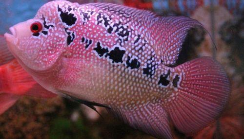 merawat ikan louhan stres