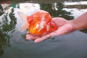 indukan ikan koki