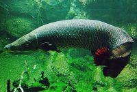 ikan predator Arapaima Gigas