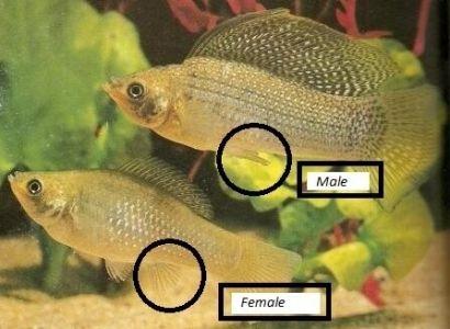 perbedaan molly jantan dan betina