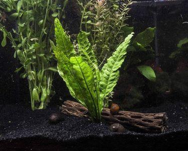 tanaman akuarium Java Fern