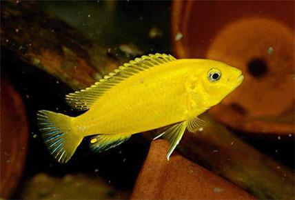 cara memelihara ikan lemon biar ga mati terus