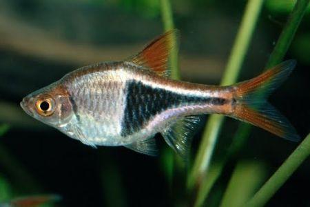 ikan tetra jenis harlequin