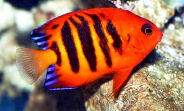 angel fish untuk aquascape