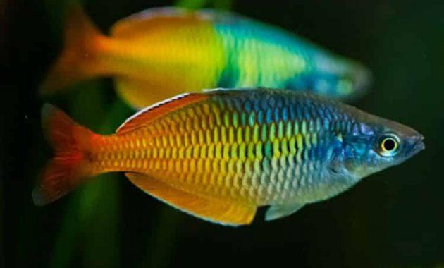 rainbow fish untuk mengisi akuarium aquascape