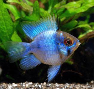cara budidaya ikan blue elektrik