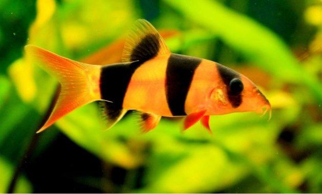 ikan botia jenis clown loach