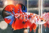 ikan cupang multicolour