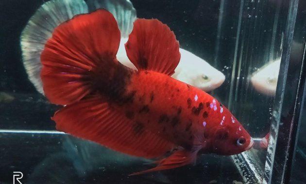 Perbedaan Ikan Cupang Red Koi Red Koi Galaxy Dan Red Koi Multicolour