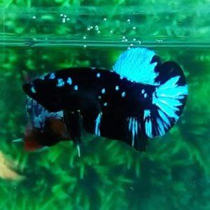 6 Jenis dan Harga Ikan Cupang Hias Terbaru 2020
