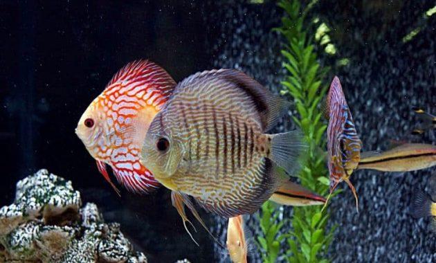ikan discus primadona untuk aquascape