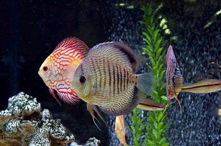 ikan discus primadona hobbyist