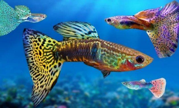 pelihara ikan guppy dengan akuarium