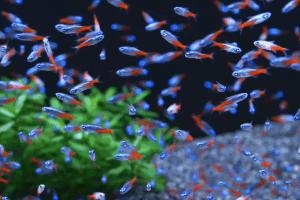 rombongan ikan neon di akuarium