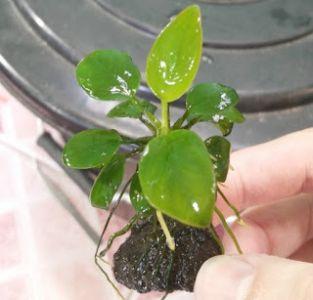 tanaman aquascape tanpa co2 anubias