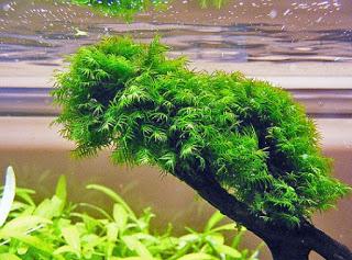 Fissiden Moss yang mudah dirawat