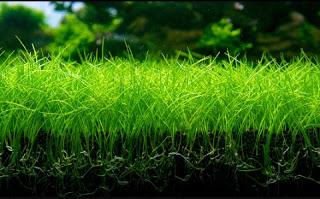 Eleocharis Parvula tanaman tanpa co2
