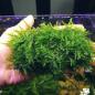 janaman peacock moss aquascape