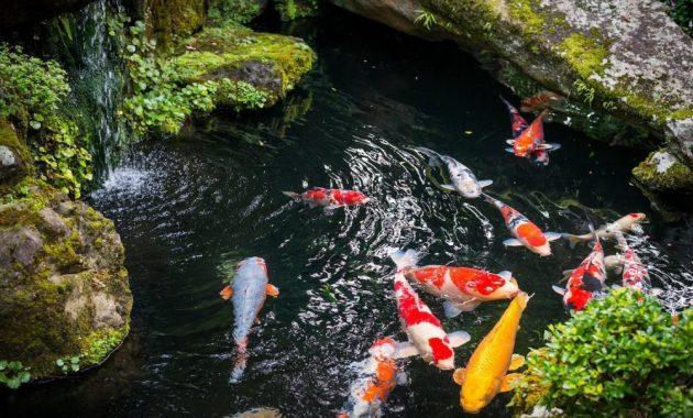 kolam ikan koi yang sehat