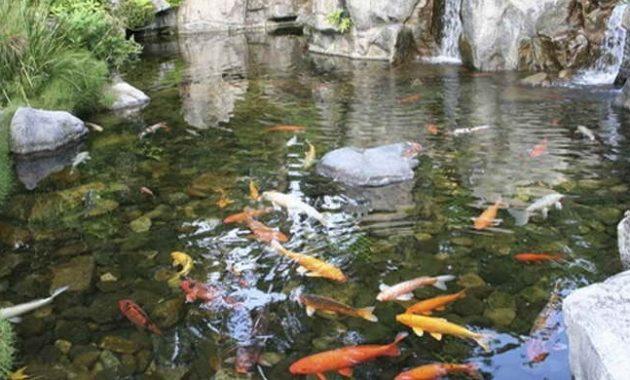 kolam koi dengan bebatuan