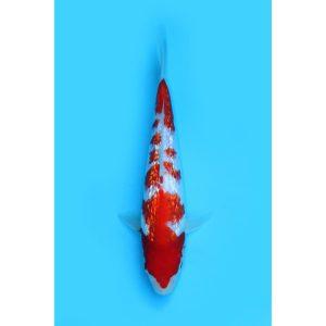 Ikan Koi Kohaku import