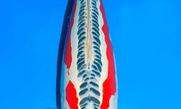 ikan koi hana shusui