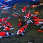membuat filter kolam ikan koi