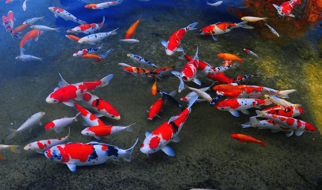 Cara Membuat Filter Kolam Ikan Koi Sederhana Yang Baik Dan Benar