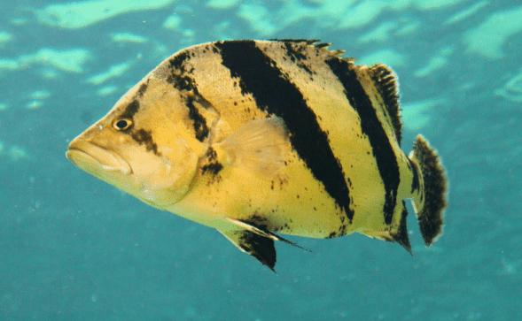 Ikan Ringau