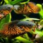 Ikan Oscar Batik