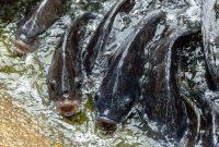 ikan nila dengan terpal