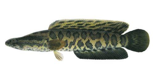 Ikan Kepala Ular (Snakehead)