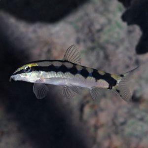 jenis ikan botia Dwarf Loach