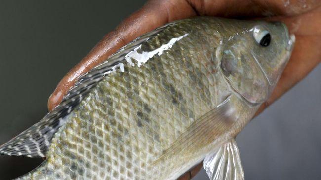 cara ternak ikan nila