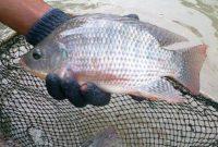 ciri ciri ikan nila