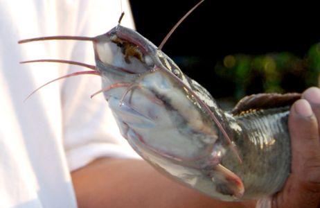 mancing ikan lele