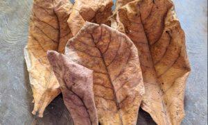 manfaat daun ketapang kering